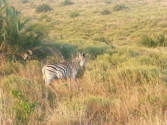 Shakabarker Tours - Day Tours : Zebra in the grasslands