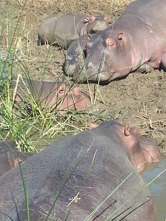 Shakabarker Tours - Day Tours: Hippos sunning in a wallow