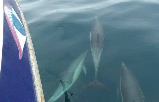 Red Anchor Charters: Dolphins