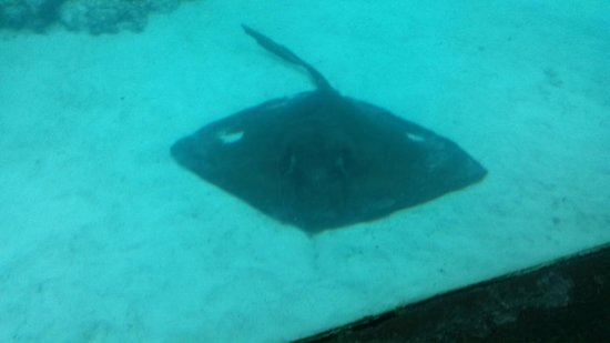 Breezes Resort & Spa Bahamas : Huge Stingray