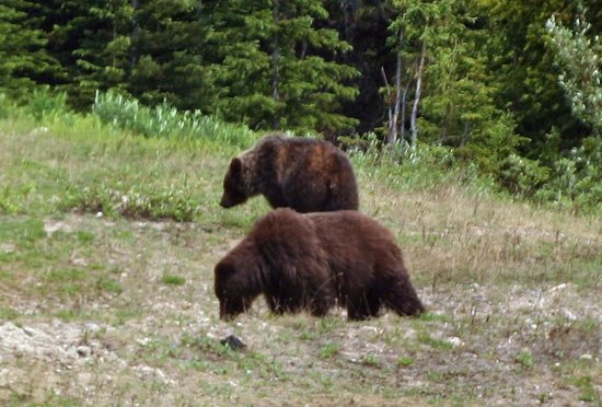 Lake Louise Sightseeing Gondola: Mother Grizzly Bear and a Yearling seen from the gondola.