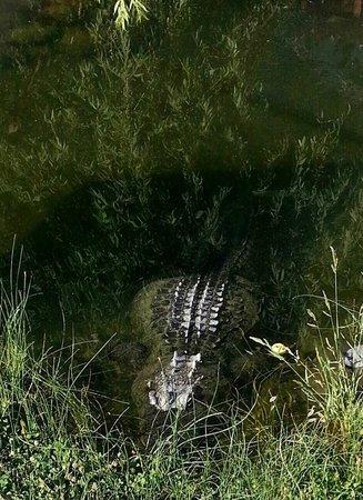 Miracle Hot Springs: Gator
