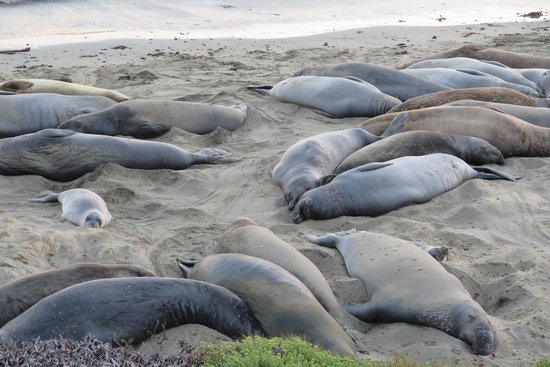 Days Inn San Simeon: The sights nearby: Elephant seals!