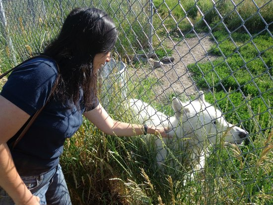 "Howlers Inn Bed & Breakfast and Wolf Sanctuary: ""Scratches With Wolves"""