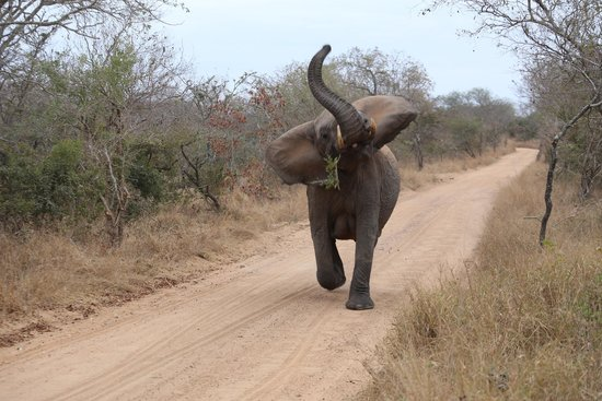 Kapama Buffalo Camp: Elephant catching up to the herd!