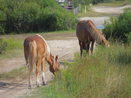 Corolla Wild Horse Tours: Horses of the Outer Banks
