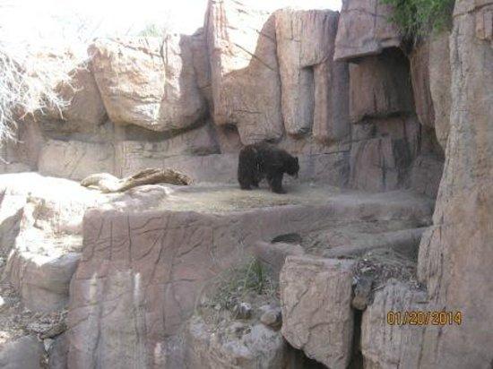 Arizona-Sonora Desert Museum: Bare Bear.. at home...