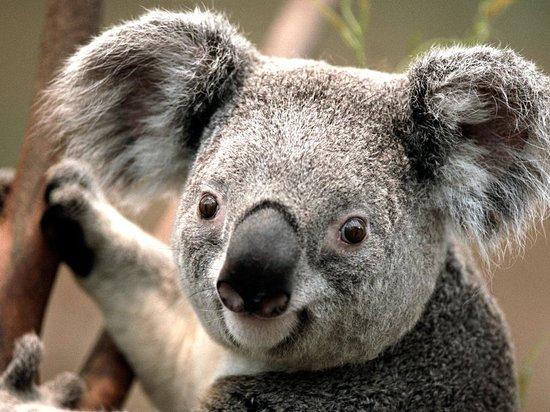 Days Inn Arkadelphia : Koala