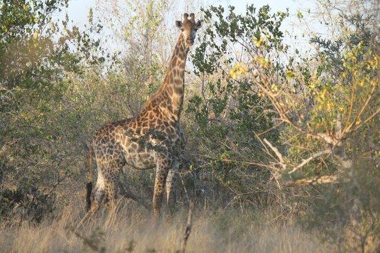 andBeyond Ngala Tented Camp: Giraffe