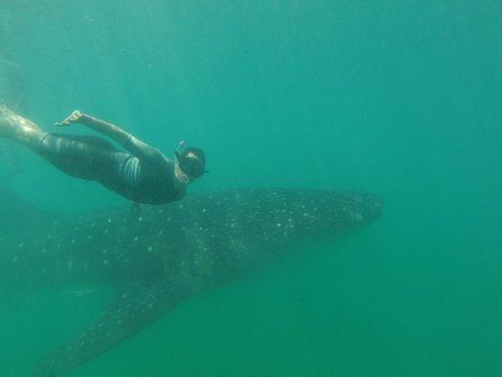 Ocean Tours: Nadando con el tiburon ballena