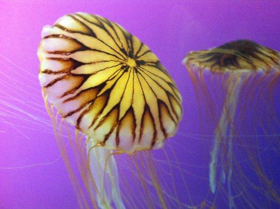 Shedd Aquarium: Jellyfish