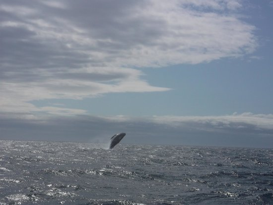 Eagle Wing Whale Watching Tours: Whale Breaching
