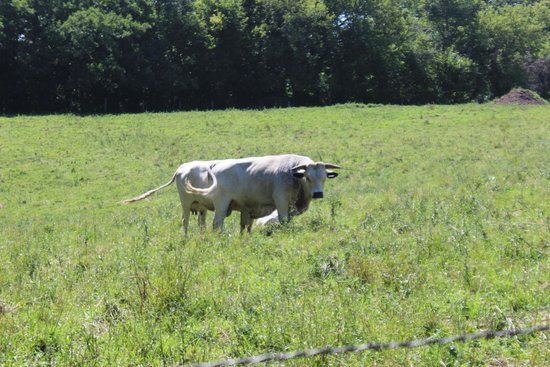 Seed Savers Exchange Heritage Farm: Ancient White Park cattle in pasture.