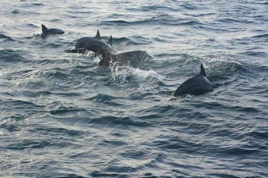 Komandoo Maldives Island Resort : Dolphins...during the Sunset Cruise