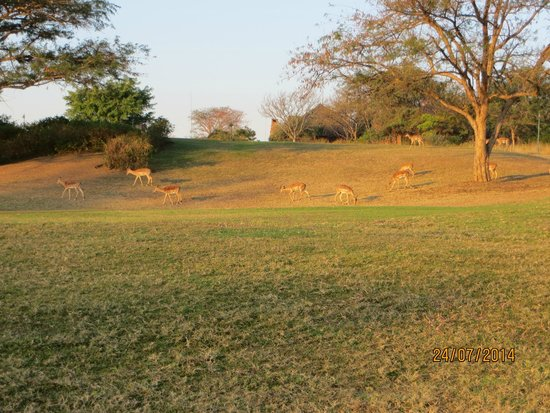Kruger Park Lodge : Impala grazing on the golf course