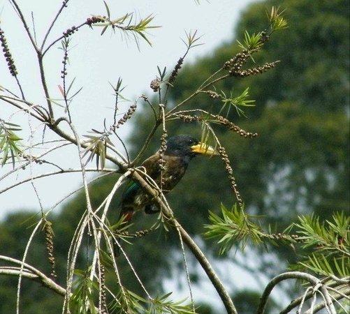 Alkananda Resort: Great Barbet nesting in one of the trees