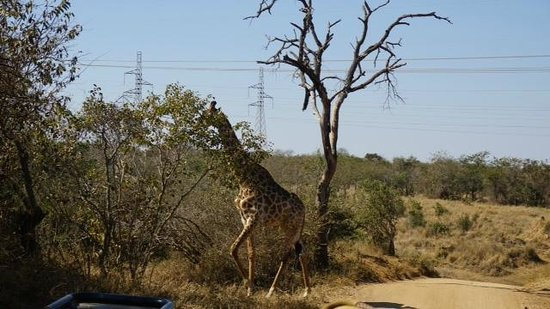 Kapama Southern Camp: Giraffe