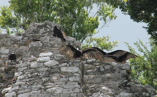 Ruines de Cobá : Condor