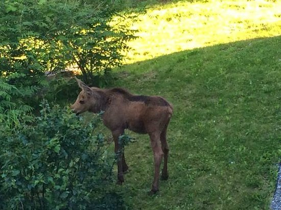 Alaska House of Jade Bed and Breakfast : Baby moose in the backyard looking for her mother