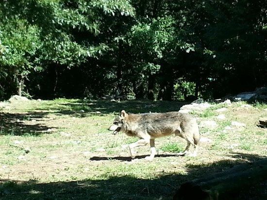 Giardino Zoologico di Pistoia : LUPO