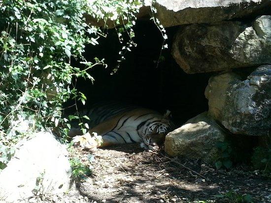 Giardino Zoologico di Pistoia : TIGRI