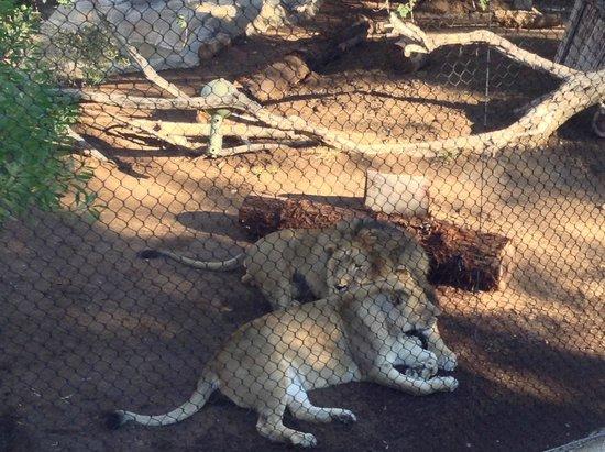 San Diego Zoo : Olha q fofo o casal de leões!