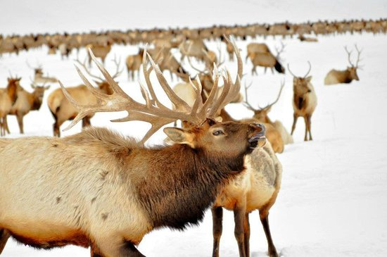 National Elk Refuge: an elk bugling- very cool sound