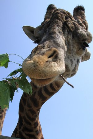 Racine Zoo : Feeding the giraffes costs $4.