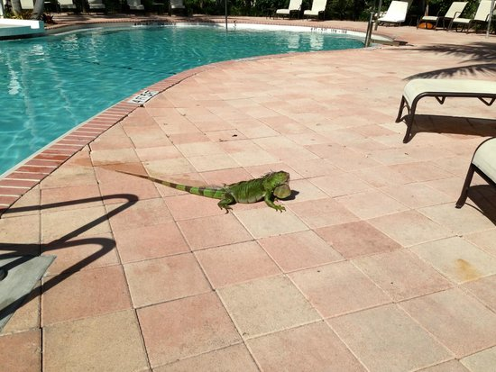 Hawks Cay Resort : another hotel guest