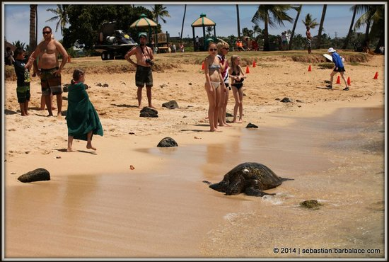 Poipu Beach Park: Sea Turtle