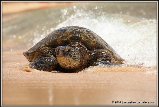 Poipu Beach Park : Sea Turtle