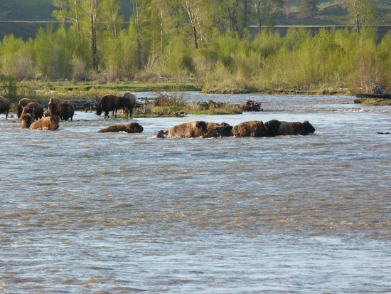 Jackson Hole Wildlife Safaris - Day Tours: BISON CROSSING RIVER IN LAMAR VALLEY