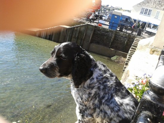 The Old Quay House Hotel : Pub Dog waiting for tide to go out so that his beach is exposed