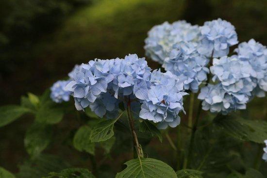 Onshi Hakone Park : 公園内のあじさい