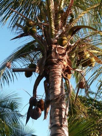 Baobab et Palmiers: cocotiers