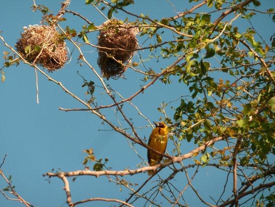 Baobab et Palmiers: oiseau de la Réunion, un bellier