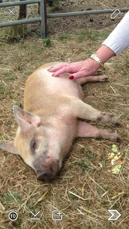 Wetheriggs Animal Rescue Centre: Scratched into a coma! Such a happy piggy