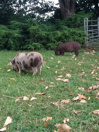 Wetheriggs Animal Rescue Centre: Two little piggies roaming freely