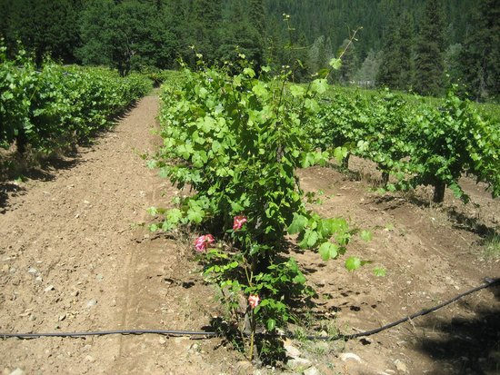 Trinity Center, Kalifornie: Roses outside every row of grapes