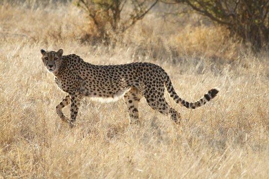 Mopaya Safari Lodge: Magnifique guépard