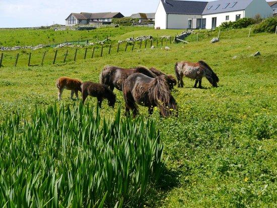 See Shetland with Sarah McBurnie Day Tours: Shetland Ponies