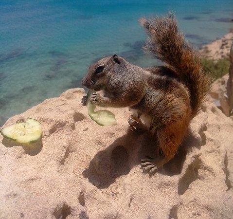 Hotel R2 Pajara Beach Hotel & Spa : ecureuil de barbarie juste derriere l'hotel