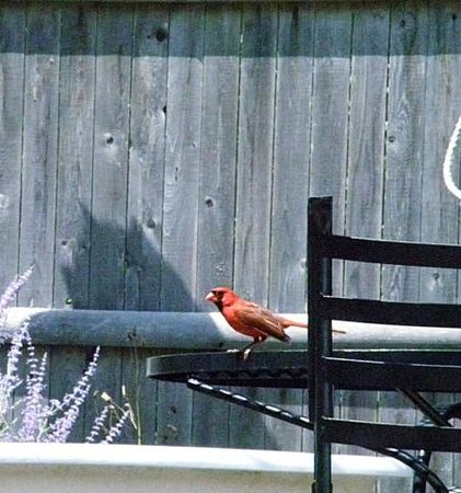 Captain Freeman Inn : cardinal in the garden by the pool