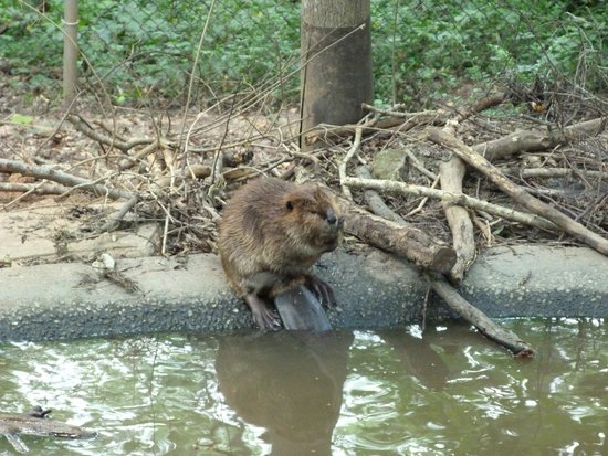 Bear Hollow Zoo: Beaver