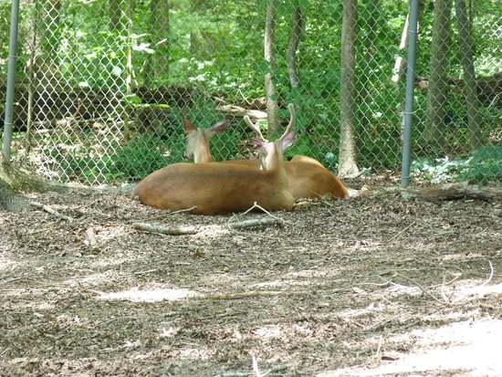 Bear Hollow Zoo: White Tail Deer