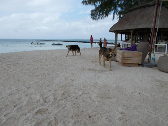Ambre Mauritius: Beach dogs