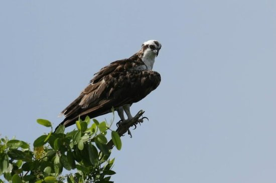 Speedy's Airboat Tours: Osprey