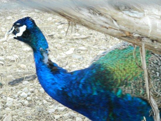 Canyon Lakeview Resort: Peacock