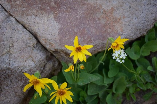 Crater Lake Lodge: wild flowers