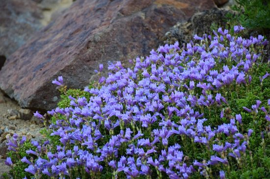 Crater Lake Lodge: wildflowers